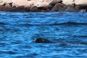 gray seal at Petit Mana Island