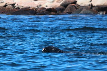 gray seal at Petit Mana Island