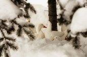 Snowy ducks.