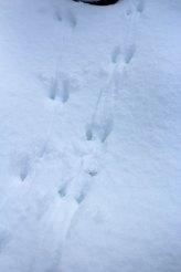 Squirrel tracks.