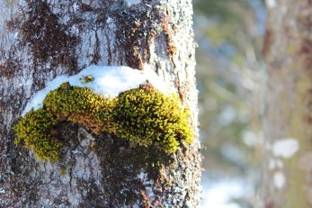 snow colored moss