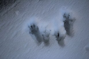 Big gray squirrel foot prints.