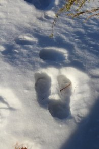 The fox tracks intersecting with the hare tracks in the woods.