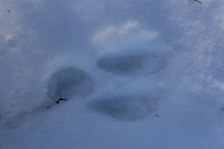The woods are covered in snowshoe hare tracks.
