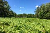 A crazy big field of ferns.