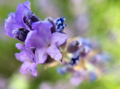 macro view lavendar