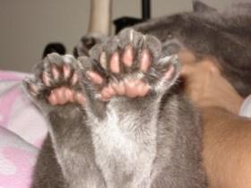 polydactal cat multiple=