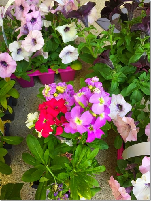 Petunias-Summer Planters @DownshiftingPRO