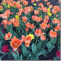 Tulips-Summer Planters @DownshiftingPRO