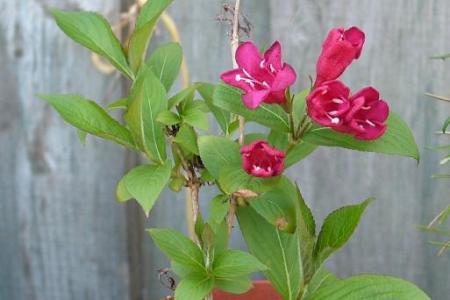 New flower names pink flowering shrub identification uk flower names flower names pink flowering shrub identification uk mightylinksfo