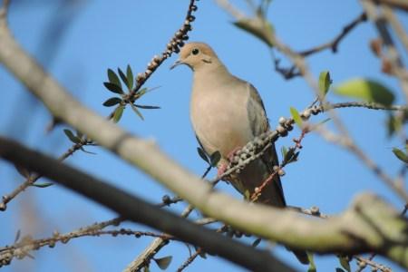 dove hunting tips tactics