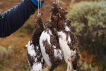 Grouse Hunt in Norway (Rypejakt) plus a recipe for Seared Grouse Breasts