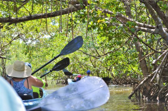 sanibel kayaking through mangroves eileen cotter wright