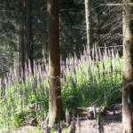 Siebengebirge naturaleza, flores, digitales