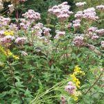 Siebengebirge naturaleza, flores, eupatorium