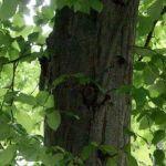 Siebengebirge nature, arbres, charme commun