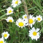 Siebengebirge nature, fleurs, margerite