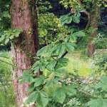 Siebengebirge nature, arbres, marronier