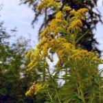 Siebengebirge nature, fleurs, solidages