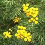 Siebengebirge nature, fleurs, trefle