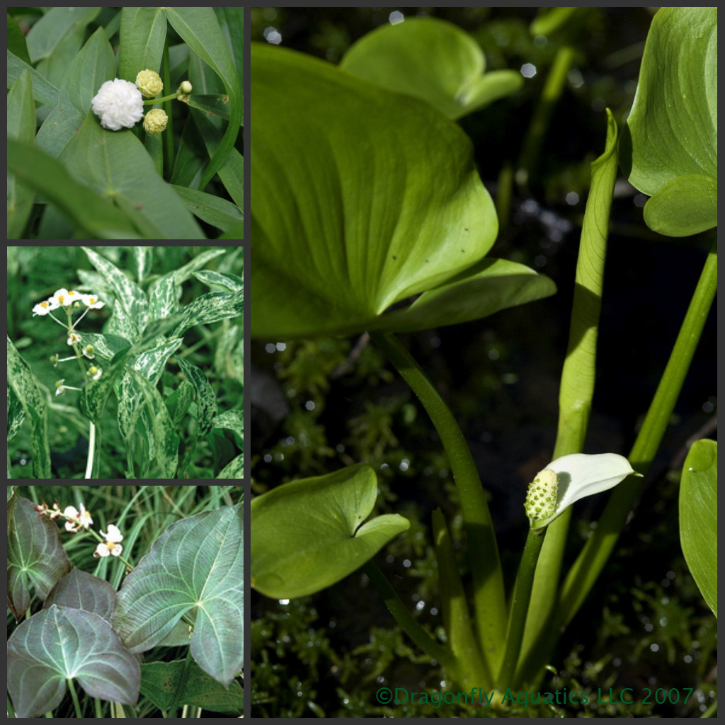 Small Pond Plant Collection
