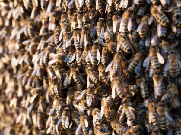 Οι μέλισσες