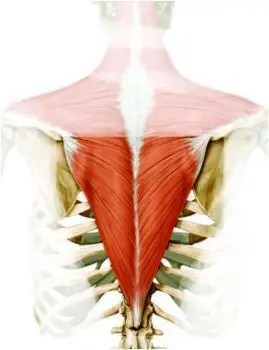 Anatomy of the Lower Trapezius