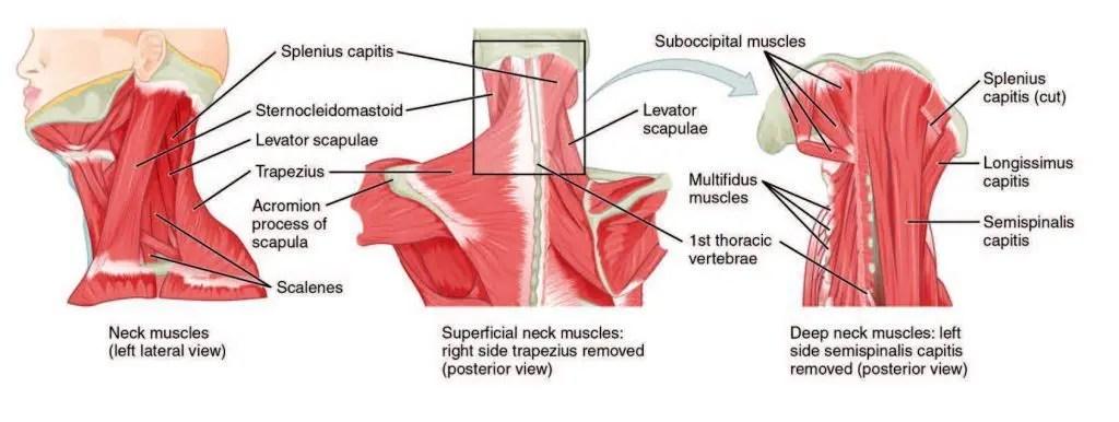 Cervical Musculature Diagram - Chiropractor El Paso