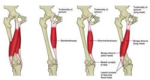 Hamstring Anatomy - El Paso Chiropractor