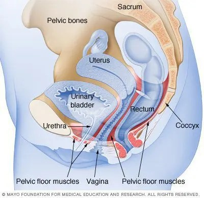 blog illustration of anatomical see through of the pelvis