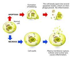 functional medicine apoptosis necrosis