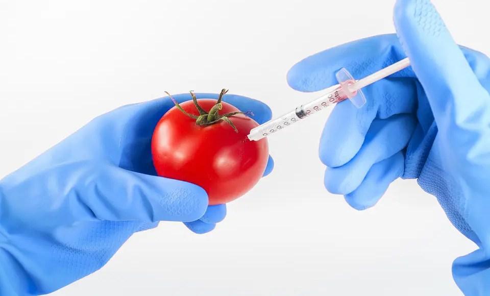 Tomato GM