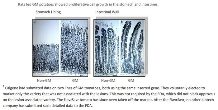 GMOs Rat GM Potato Info