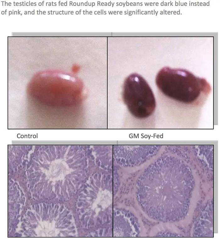 GMOs Testicles of Rats