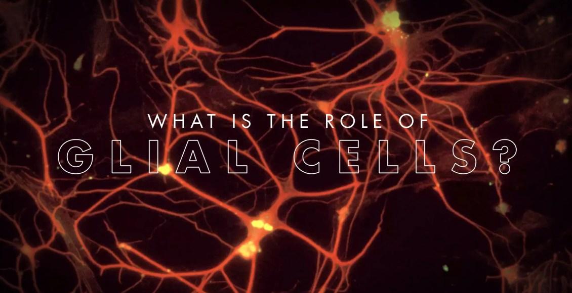 ¿Cuál es el papel de las células gliales? El   El Paso, TX Quiropráctico