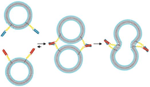 Ilustración esquemática de la fusión de liposomas mediada por imitadores de proteínas SNARE simples