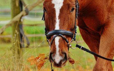 Peyo el caballo que detecta tumores