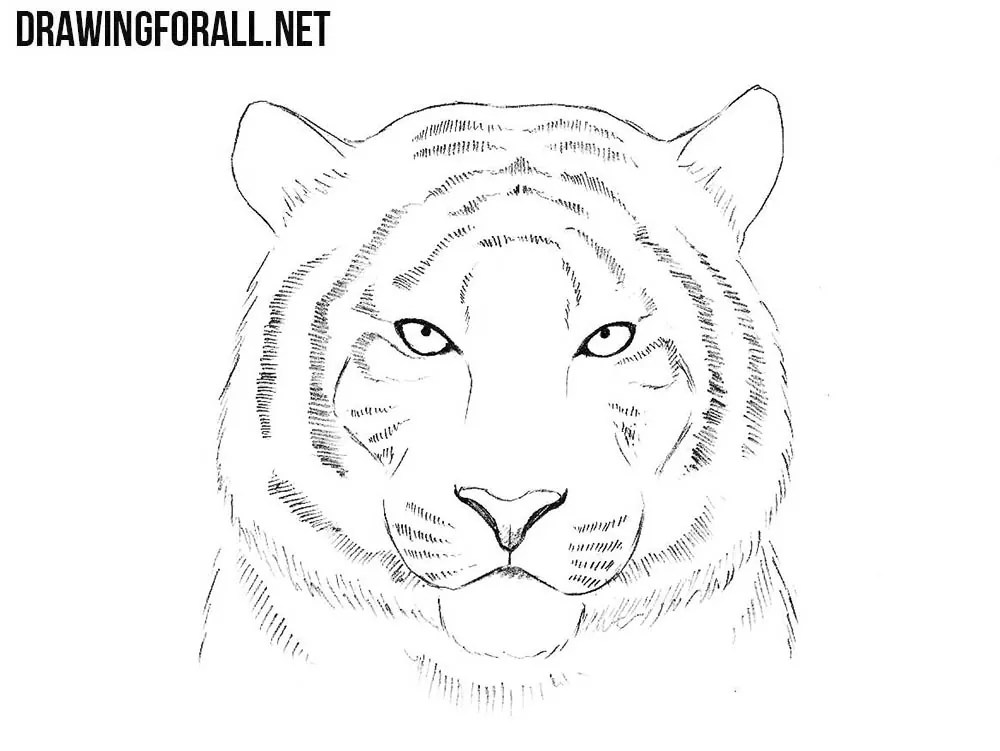 How To Draw A Tiger Head Drawingforall Net