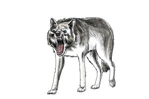 Coloring Pages Wolf : How to draw gray wolf the best wolf 2018