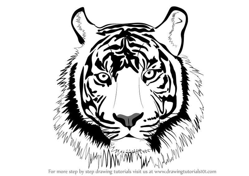 Learn How To Draw A Tiger Face Big Cats Step By Step Drawing Tutorials