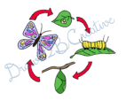 Butterfly Life Cycle Clip Art- Ink and Digital Coloring