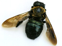 Image of carpenter bee