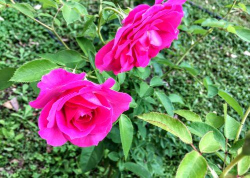 うらら バラ 綺麗 咲く 淀屋橋 大阪 京阪電車