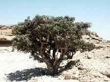 weihrauchbaum