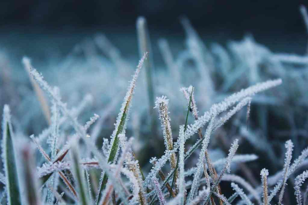 Frost Snow Grass