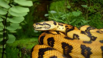Dream Meaning of Snake - Dream Interpretation