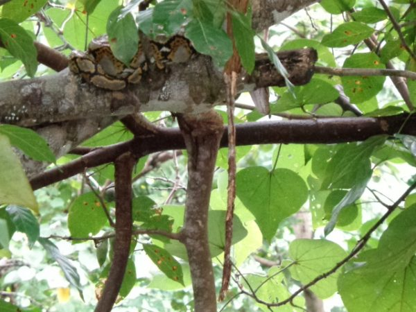 A python lazing the day away in Air Batang.