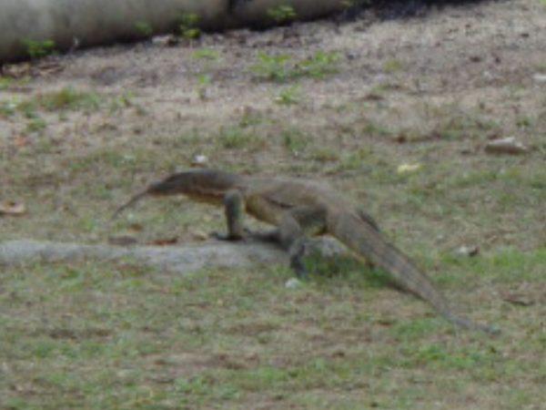 One of the many monitor lizards roaming Air Batang.
