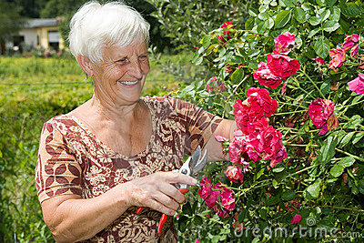 Grandma Is Cutting Flowers And Red Roses In Garden Stock Image