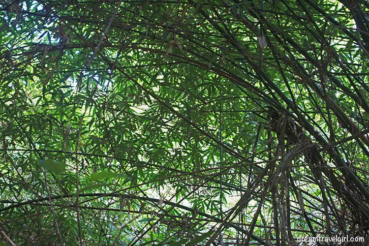 Laos_Huay-Bo_jungle-bamboo